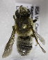  (Megachile pruinosone - CCDB-15281 F04)  @11 [ ] CreativeCommons - Attribution Non-Commercial Share-Alike (2011) Packer Collection York University York University