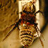  (Megachile discolor - MegBOL 0012)  @11 [ ] CreativeCommons - Attribution Non-Commercial Share-Alike (2011) Connal Eardley ARC-Plant Protection Research Institute