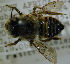  (Megachile ungulata - MegBOL 0076)  @11 [ ] CreativeCommons - Attribution Non-Commercial Share-Alike (2011) Connal Eardley ARC-Plant Protection Research Institute