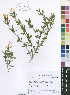 (Jasminum quinatum - Turpin416)  @11 [ ] No Right Reserved  Unspecified Unspecified