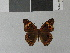(Junonia neildi - LCB0033)  @11 [ ] Copyright (2011) Christian Brevignon Research collection of L. and C. Brevignon