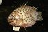 (Monocentris japonica - DHS0348B)  @14 [ ] Copyright (2006) D. Hinsinger/Santo2006/MNHN MNHN