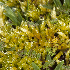 (Brachythecium austro-glareosum - JM8529)  @11 [ ] Copyright (2013) Jesus Munoz Universidad Tecnológica Indoamérica