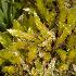 (Brachythecium austro-glareosum - JM8551)  @11 [ ] Copyright (2013) Jesus Munoz Universidad Tecnológica Indoamérica