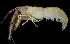 (Macrobrachium pilimanus - BIC-0206)  @11 [ ] CreativeCommons – Attribution Non-Commercial Share-Alike (2014) Daisy WOWOR LIPI