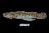 (Sicyopterus microcephalus - BIF0244)  @11 [ ] CreativeCommons - Attribution Non-Commercial Share-Alike (2013) Nicolas HUBERT IRD