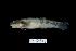 (Sicyopterus parvei - BIF0434)  @11 [ ] CreativeCommons - Attribution Non-Commercial Share-Alike (2013) Nicolas HUBERT IRD