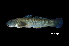 (Sicyopterus cynocephalus - BIF1601)  @11 [ ] CreativeCommons – Attribution Non-Commercial Share-Alike (2014) Nicolas HUBERT IRD