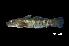(Sicyopterus cynocephalus - BIF1602)  @11 [ ] CreativeCommons – Attribution Non-Commercial Share-Alike (2014) Nicolas HUBERT IRD