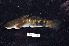 (Sicyopterus cynocephalus - BIF2611)  @11 [ ] CreativeCommons – Attribution Non-Commercial Share-Alike (2014) Nicolas HUBERT IRD