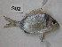 (Diplodus vulgaris - BIM S02)  @14 [ ] No Rights Reserved (2012) Guy Paz IOLR
