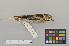 (Coccothraustes coccothraustes - NSMT-DNA6103)  @14 [ ] Copyright (c) (2014) I. Nishiumi National Museum of Nature and Science, Tokyo