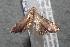 (noctuidJanzen01 - 13-SRNP-79945)  @11 [ ] CreativeCommons - Attribution Non-Commercial Share-Alike (2014) Daniel H. Janzen Guanacaste Dry Forest Conservation Fund