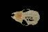 (Myotis cf. annatessae - ROM MAM 111271)  @12 [ ] Copyright (2006) Unspecified Royal Ontario Museum