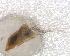 (Simulium margaritatum - BNB2-00244)  @12 [ ] CreativeCommons - Attribution Non-Commercial Share-Alike (2010) Unspecified Biodiversity Institute of Ontario