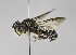  (Megachile ARG1 - B1397-G07)  @11 [ ] CreativeCommons - Attribution Non-Commercial Share-Alike (2010) Unspecified York University