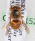 (Icteranthidium - CCDB-15262-F3)  @13 [ ] CreativeCommons - Attribution Non-Commercial Share-Alike (2010) Packer Collection York University York University