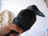(Corvus splendens - NHMO-67)  @11 [ ] Unspecified (default): All Rights Reserved  Unspecified Unspecified