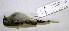 (Camptostoma imberbe - CNAV023360)  @13 [ ] CreativeCommons - Attribution Non-Commercial Share-Alike (2011) Patricia Escalante Pliego Universidad Nacional Autonoma de Mexico, Instituto de Biologia