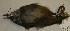 (Henicorhina leucophrys - CNAV024861)  @11 [ ] Unspecified (default): All Rights Reserved  Unspecified Unspecified