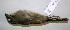 (Aimophila rufescens - CNAV027509)  @13 [ ] CreativeCommons - Attribution Non-Commercial Share-Alike (2011) Patricia Escalante Pliego Universidad Nacional Autonoma de Mexico, Instituto de Biologia