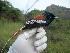 (Terpsiphone viridis - NHMO-33432)  @15 [ ] Unspecified (default): All Rights Reserved  Unspecified Unspecified