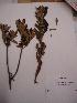 (Solanum bogotense - Antoine 11157)  @11 [ ] CreativeCommons - Attribution Non-Commercial Share-Alike (2013) Unspecified Instituto de Investigación de Recursos Biológicos Alexander von Humboldt
