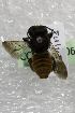  (Megachile creightonellaVNM01 - CCDB-14506-E2)  @11 [ ] CreativeCommons - Attribution Non-Commercial Share-Alike (2012) Packer Collection York University York University