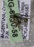 (Augochlorella carinata - ARG-6830-58)  @12 [ ] CreativeCommons - Attribution Non-Commercial Share-Alike (2011) Packer Collection York University York University