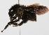 (Bombus atratus - ARG-7205-36)  @15 [ ] CreativeCommons - Attribution Non-Commercial Share-Alike (2010) Packer Collection York University York University