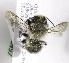 (Megachile grandibarbis - CCDB-09987 B11)  @13 [ ] Copyright (2011) Laurence Packer York University