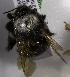 (Bombus funebris - CCDB-09987 F01)  @13 [ ] Copyright (2011) Laurence Packer York University