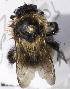 (Bombus filchnerae - CCDB-09808 E05)  @13 [ ] CreativeCommons - Attribution Non-Commercial Share-Alike (2012) Packer Collection York University York University