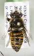(Megachile KENLP21 - CCDB-19992 D10)  @13 [ ] Unspecified (default): All Rights Reserved (2013) Packer Collection York University York University
