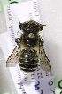  (Megachile cf. analis - CCDB-14514-B11)  @11 [ ] CreativeCommons - Attribution Non-Commercial Share-Alike (2012) Packer Collection York University York University