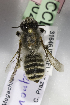  (Megachile montenegrensis - CCDB-14514-C02)  @11 [ ] CreativeCommons - Attribution Non-Commercial Share-Alike (2012) Packer Collection York University York University