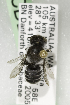  (Megachile Hackeriapis_sp - CCDB-14514-C09)  @11 [ ] CreativeCommons - Attribution Non-Commercial Share-Alike (2012) Packer Collection York University York University