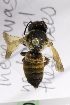  (Megachile unk sp. 1 - CCDB-14515-D07)  @11 [ ] CreativeCommons - Attribution Non-Commercial Share-Alike (2012) Packer Collection York University York University