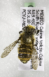  (Megachile flavihirsuta - CCDB-09841 F04)  @11 [ ] Unspecified (default): All Rights Reserved (2010) Unspecified Unspecified