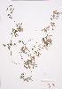 (Adlumia - LL 002)  @11 [ ] Copyright (2009) Unspecified University of Guelph BIO Herbarium