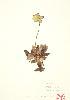 (Sarraceniaceae - JEM 019)  @11 [ ] Copyright (2009) Unspecified University of Guelph BIO Herbarium