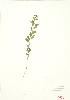 (Geocaulon - MMD 023)  @13 [ ] Copyright (2009) Unspecified University of Guelph BIO Herbarium