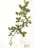 (Elaeagnaceae - MMD 042)  @11 [ ] Copyright (2009) Unspecified University of Guelph BIO Herbarium