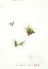 (Selaginella eclipes - JEM 121)  @11 [ ] Copyright (2009) Unspecified University of Guelph BIO Herbarium