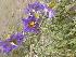 (Solanum elaeagnifolium - CRUBST26_012)  @11 [ ] Copyright (2097) Cintia Souto Laboratorio Ecotono - CRUB- UNC