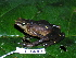  (Atelopus - CH 6384)  @14 [ ] CreativeCommons - Attribution Non-Commercial Share-Alike (2010) Copyright Csar Jaramillo Smithsonian Tropical Research Institute