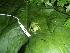 (Hyalinobatrachium vireovittatum - CH 6433)  @14 [ ] CreativeCommons - Attribution Non-Commercial Share-Alike (2010) Copyright César Jaramillo Smithsonian Tropical Research Institute