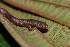  (Plethodontidae - CH 6752)  @14 [ ] CreativeCommons - Attribution Non-Commercial Share-Alike (2010) Copyright Csar Jaramillo Smithsonian Tropical Research Institute