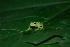(Hyalinobatrachium esmeralda - LSB 384)  @14 [ ] CreativeCommons - Attribution Non-Commercial Share-Alike (2011) Andrew J. Crawford Universidad de los Andes