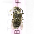  (Megachile leachella - B03757F02-KGZ)  @11 [ ] CreativeCommons - Attribution Non-Commercial Share-Alike (2010) Unspecified York University